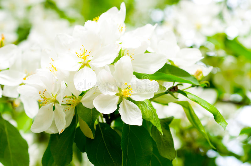 Download Blossom apple tree stock image. Image of orchard, bloom - 12425059