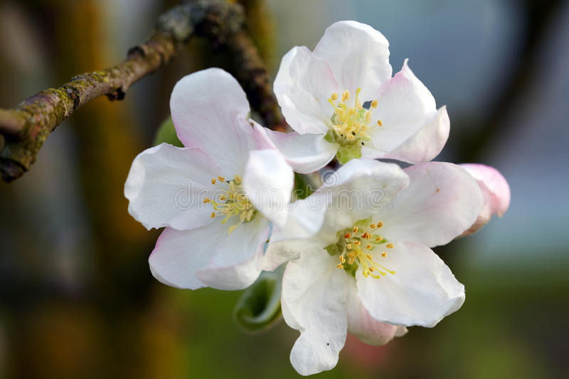 Blossom apple tree. Apple flowers close-up royalty free stock images