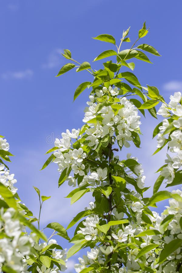Blossom apple tree, farm rural flowering orchard, white flowers on an apple tree branch, vertical royalty free stock photos