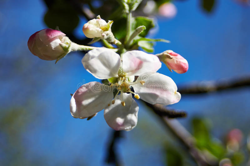 Blossom apple tree. Apple flowers close-up stock photo