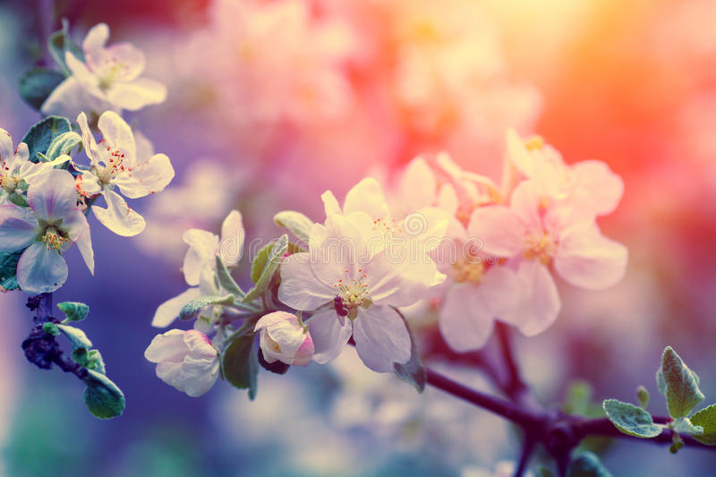 Blossom apple tree. Vintage blossom apple tree at sunrise. Spring natural background royalty free stock photography