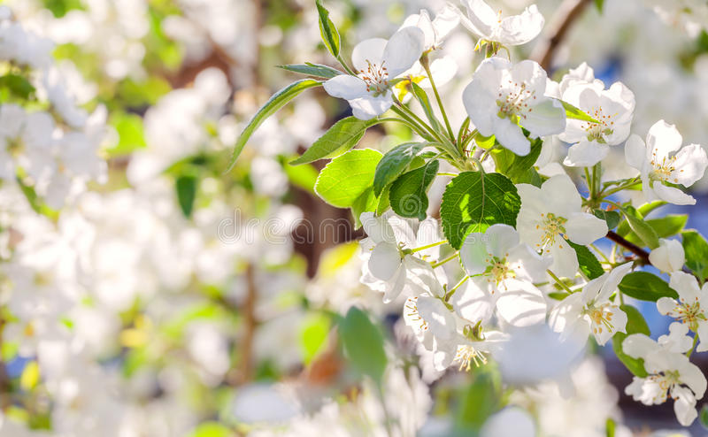 Blossom apple tree. White spring flowers closeup stock photography