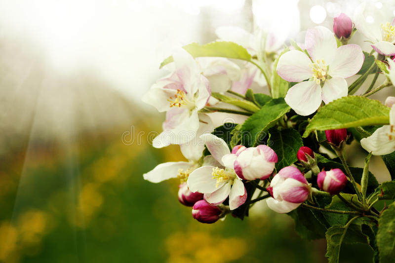 Blossom apples garden in the Spring royalty free stock photo