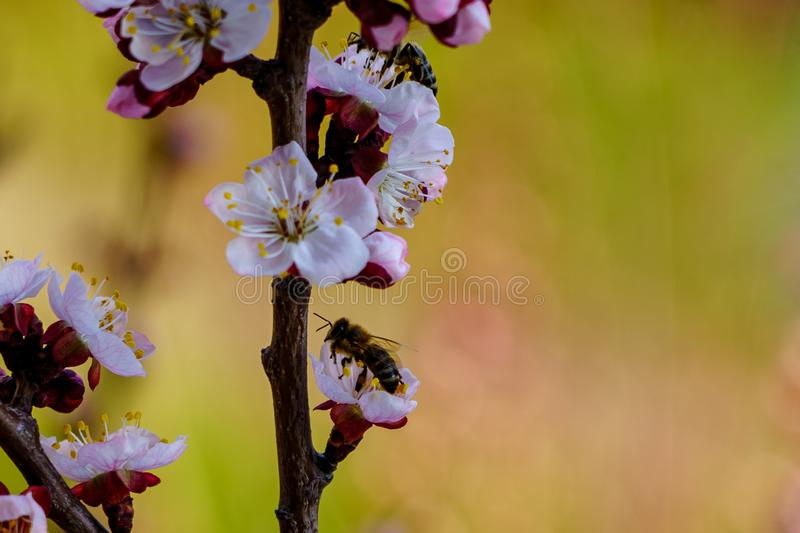 Blossom apricot branch with beautiful white and pink flowers and blooming flower buds with bees on flowers in the garden in spring royalty free stock photos
