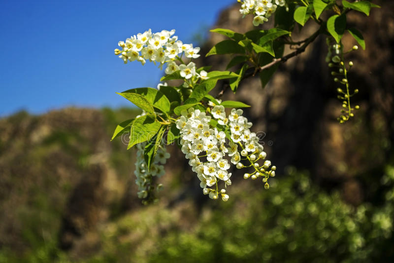 Blossom of the bird-cherry tree with white flowers. royalty free stock image