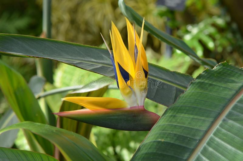 Bird of Paradise Flower. The blossom of a bird of paradise flower also called crane flower, Strelitzia reginae,, so called for its resemblance to the head and royalty free stock photo