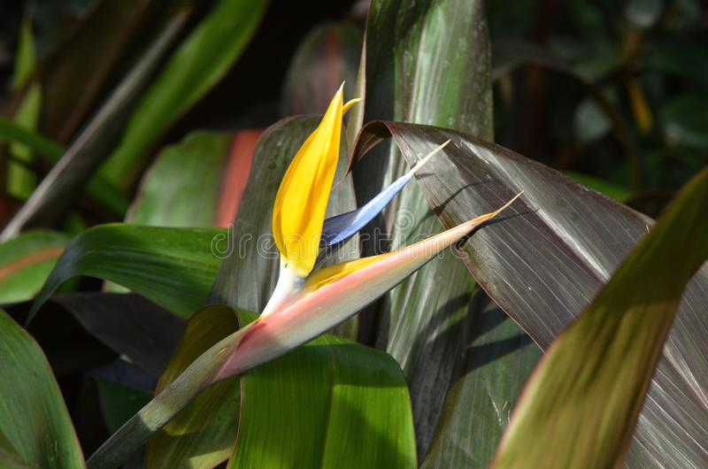 Bird of Paradise Flower. The blossom of a bird of paradise flower also called crane flower, Strelitzia reginae,, so called for its resemblance to the head and royalty free stock image