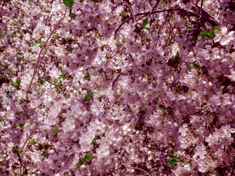 Blossom bloom of cherry at spring. White sakura flowers on sky background in pink tint royalty free stock photos