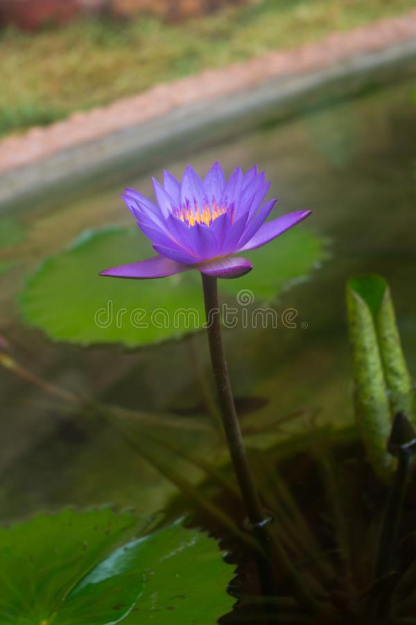 Blossom blue lotus flower stock images