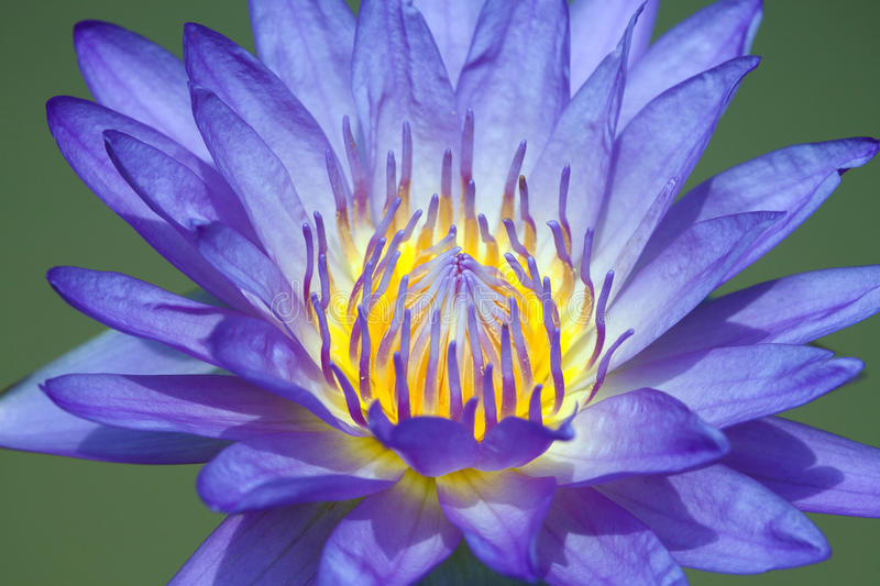 Blossom Blue Lotus Flower royalty free stock photography