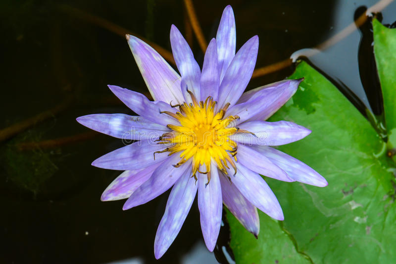 Blossom blue lotus flower on the water royalty free stock photo