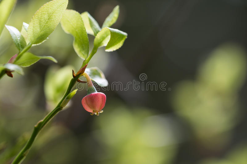 Blossom blueberry flower royalty free stock photo