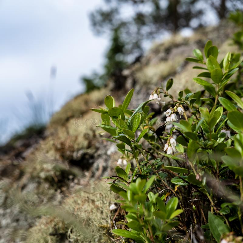 Blossom of blueberry Vaccinium myrtillus on a sunny summer day, on a hill, against a blurred background royalty free stock photo