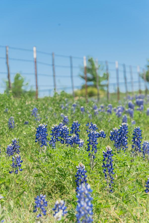 Blossom bluebonnet fields with rustic fence in Rural side of Texas, America obrazy royalty free