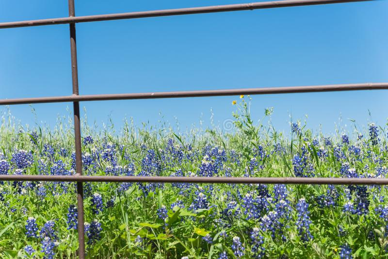 Blossom bluebonnet fields with rustic fence in Rural side of Texas, America fotografia royalty free