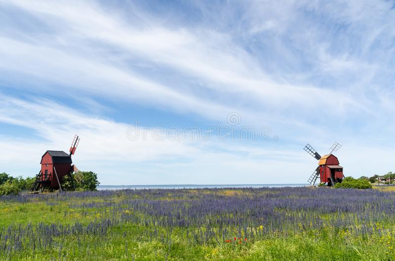 Blossom blueweed by two traditional wooden windmills royalty free stock images