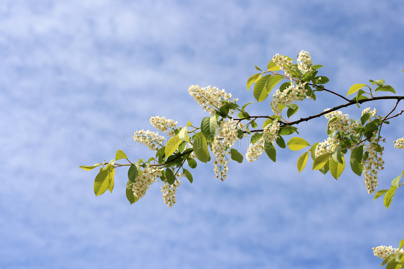 Blossom branch royalty free stock images