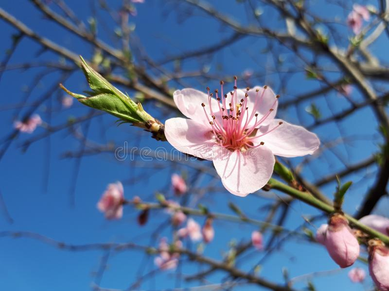 Blossom, Branch, Spring, Flower royalty free stock photo