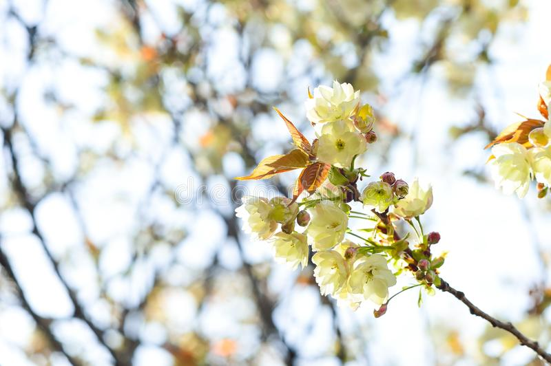 Blossom, Branch, Spring, Flower royalty free stock image