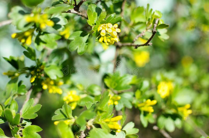 Blossom branches of black currant close-up stock photo