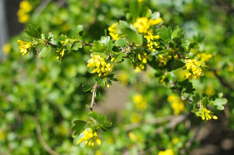 Blossom branches of black currant close-up royalty free stock photography