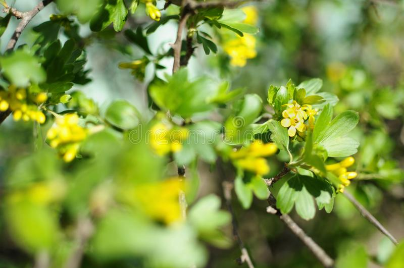 Blossom branches of black currant close-up stock images