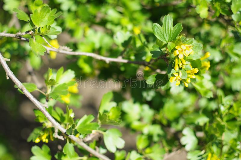 Blossom branches of black currant close-up stock image