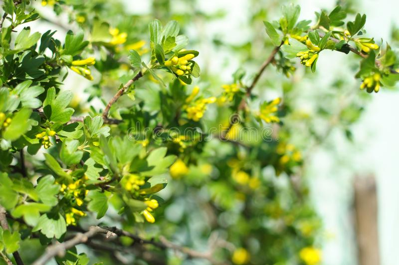 Blossom branches of black currant close-up stock photography