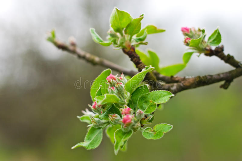 Download Blossom bud stock image. Image of young, blossom, april - 13435123