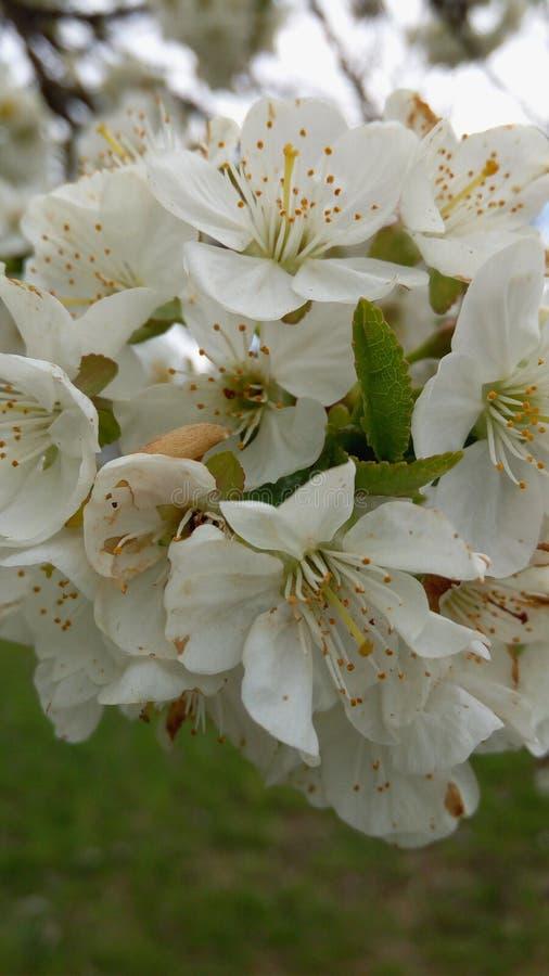 Blossom of cherry tree royalty free stock image