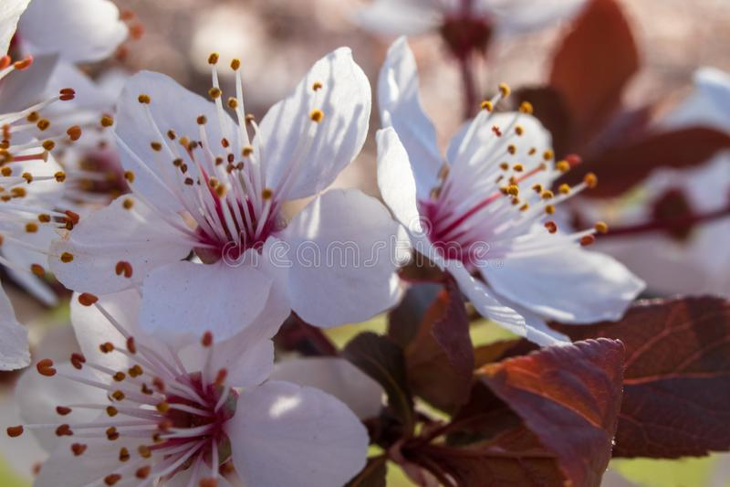 Blossom of cherry plum or myrobalan plum prunus cerasifera stock images