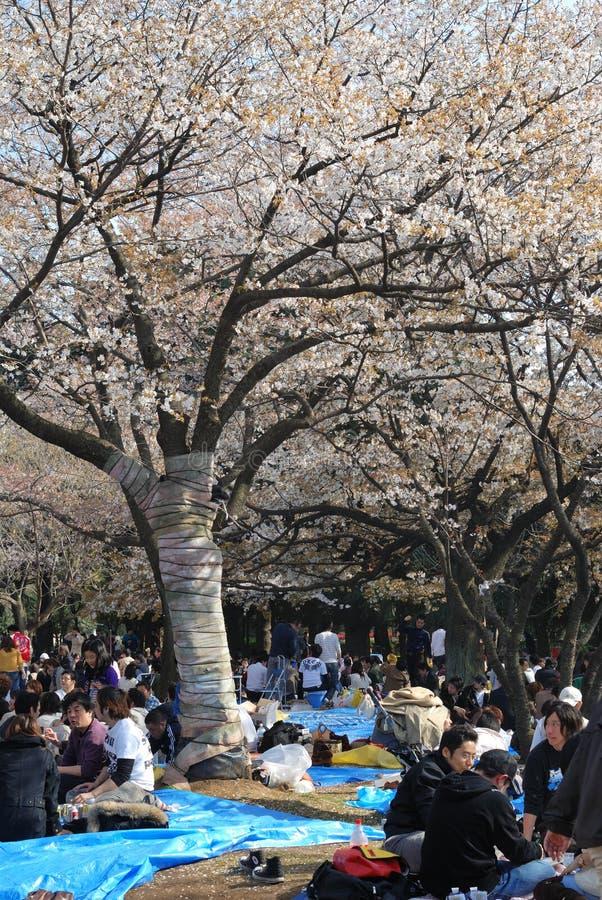 Blossom cherry season in Tokyo royalty free stock photos