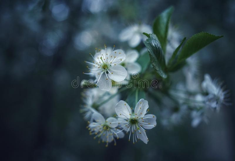 branch tree blossom white flowers close-up cherry tree bokeh background royalty free stock photo