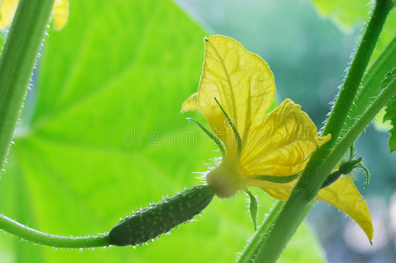 Download Blossom Cucumber Royalty Free Stock Image - Image: 931986