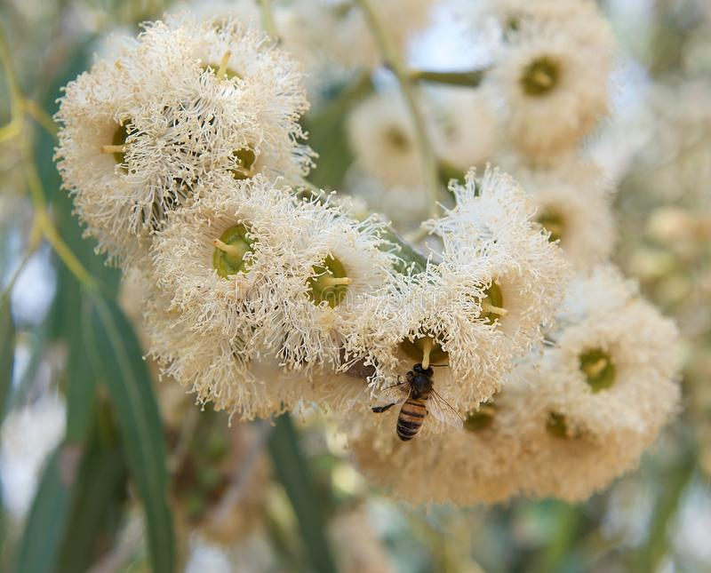 Blossom eucalyptus flower with bee in it and green blur background, de focus,typical Malta flora, yellow eucalyptus blossom in gre stock photo