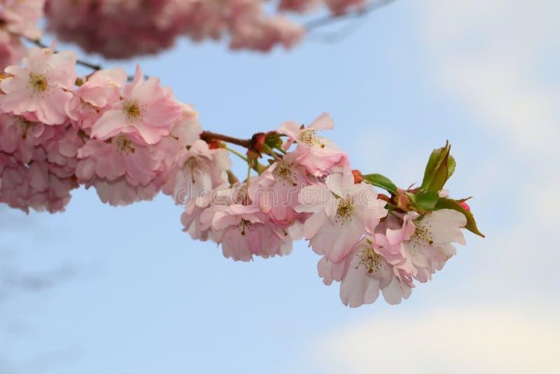 Blossom, Flower, Pink, Cherry Blossom stock photos