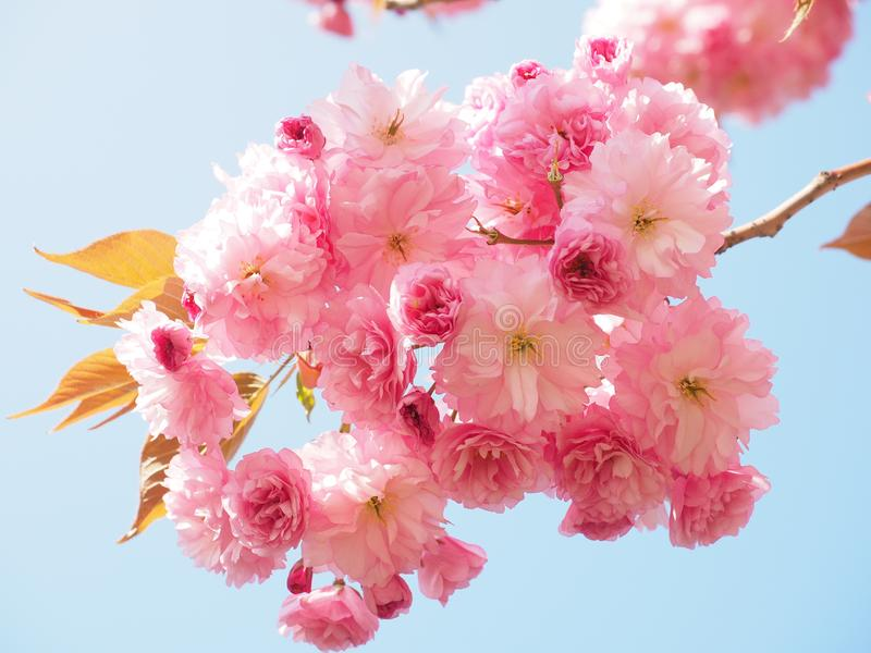 Blossom, Flower, Pink, Cherry Blossom royalty free stock photography