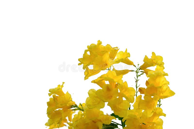 Yellow trumpet flower blossom in a garden on white isolated background. Blossom garden white isolated background up leaf foliage leaves green greenery park stock photography