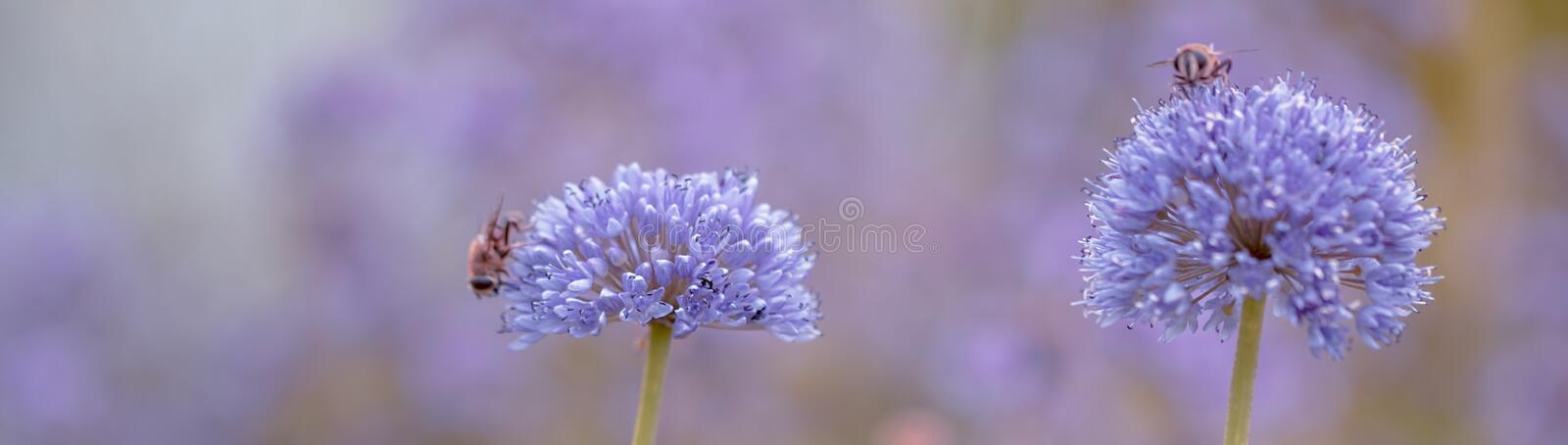Blossom of the garlic, Allium with bees. Macro of spring purple flower garlic, Allium in beautiful light with two bees stock photos