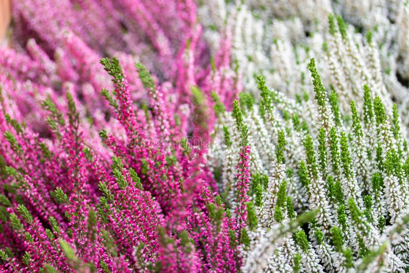 Blossom Heather Calluna white pink backdrop. Blooming twigs of common heather, autumn garden flower stock photography