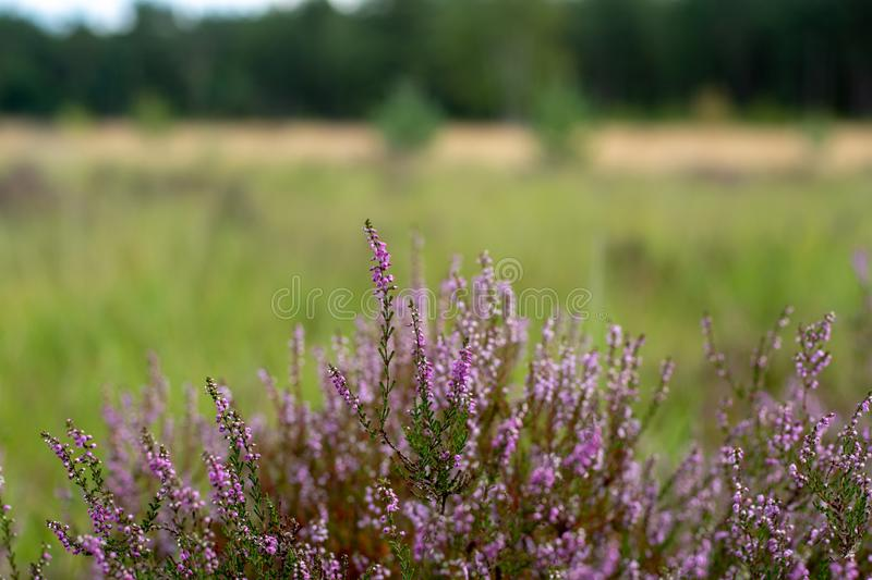 Blossom of heather plant in Kempen pine forest, North Brabant, N stock photos