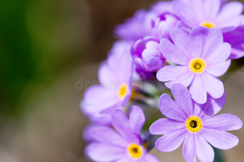 Blossom lilac flowers stock photography