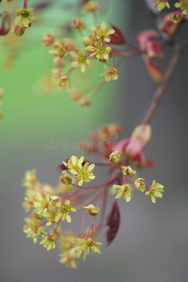 Blossom of Lime stock photography