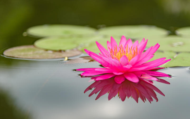 Blossom lotus flower in thailand stock image