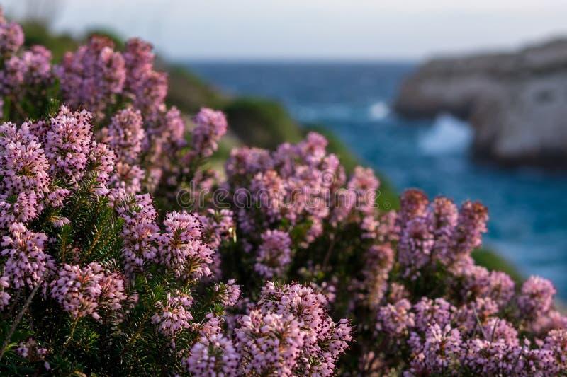 Mediterranean pink heather coastline. Island of Gozo, Malta, win royalty free stock images
