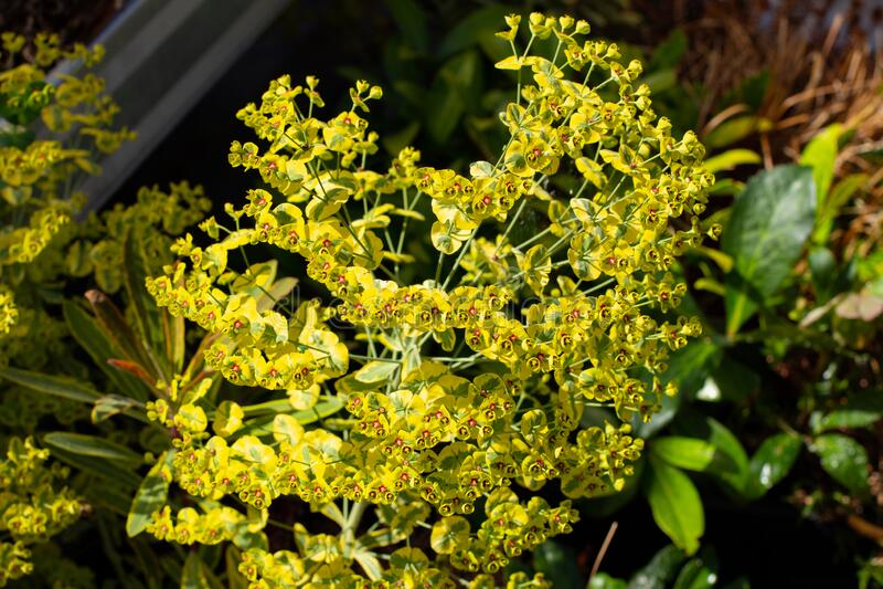Euphorbia characias Palisaden Wolfsmilch Tasmanian Tiger