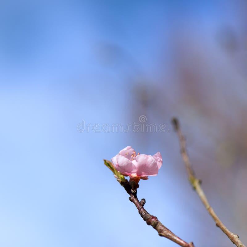 Blossom Nectarine royalty free stock image