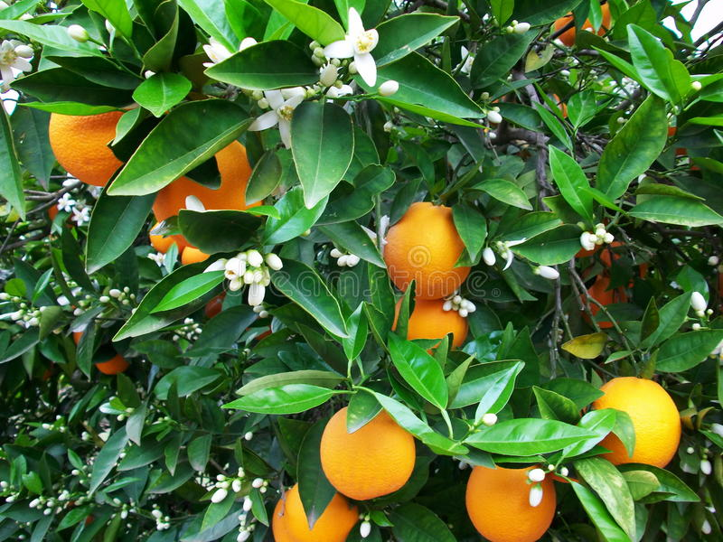 Download Blossom And Oranges On Tree Stock Photo - Image: 14396366