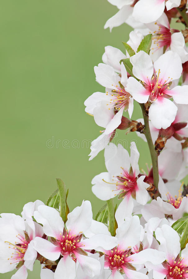 Blossom Over Green Background Stock Photo