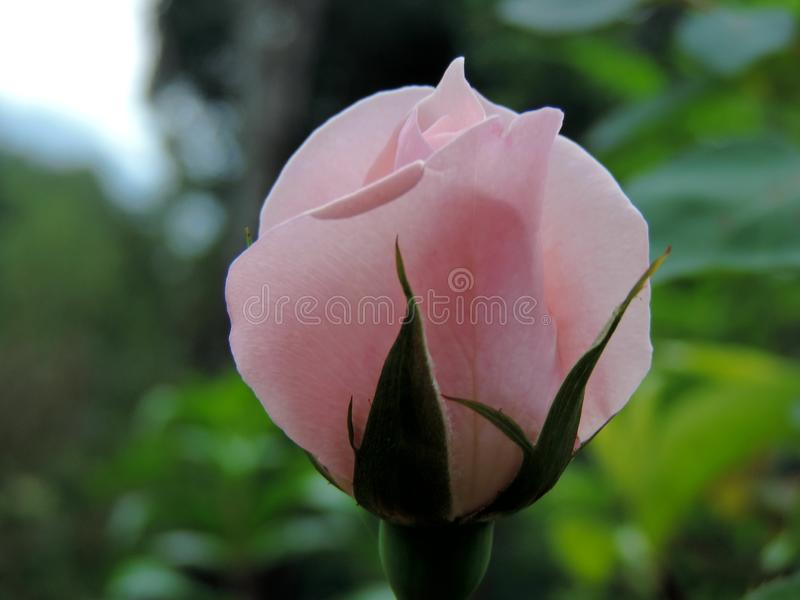 Close-up of pink rose blooming in Blossom Hydel Park, Kerala, India stock photography
